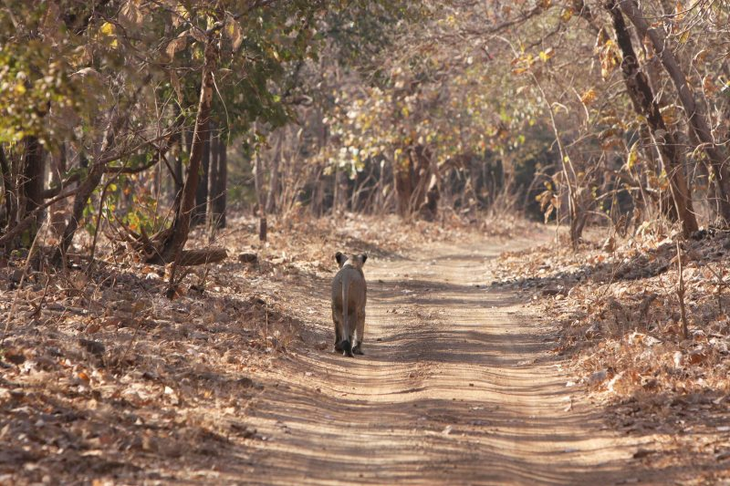 lionness on route.2 Gir National Park, 2008